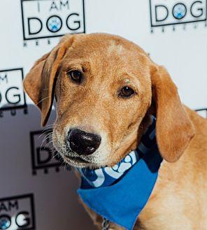 Labrador Retriever Mix Puppy for adoption in Cross Roads, Texas - Wendy