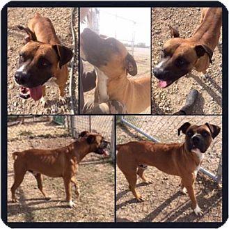 Boxer Mix Dog for adoption in Garber, Oklahoma - Champ