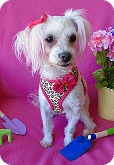 Maltese Dog for adoption in Irvine, California - Tuesday