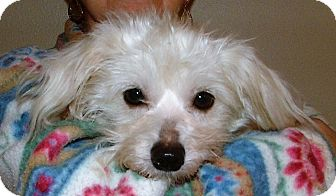 Maltese/Bichon Frise Mix Dog for adoption in Westport, Connecticut - Casper