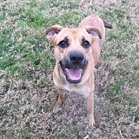 Black Mouth Cur/Labrador Retriever Mix Dog for adoption in Denton, Texas - Brownie