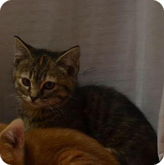 American Shorthair Kitten for adoption in Lincoln, Nebraska - Sassy