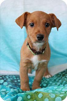 Airedale Terrier/Dachshund Mix Puppy for adoption in Staunton, Virginia - Halo