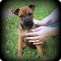 Adopt A Pet :: Sheba - Denver, NC