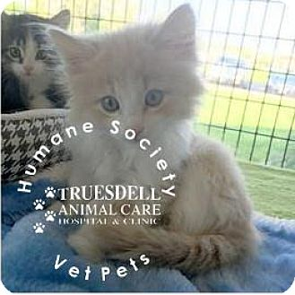 Domestic Mediumhair Kitten for adoption in Janesville, Wisconsin - Mr. Fluffington