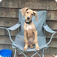 Adopt A Pet :: Stella - Harrisville, RI