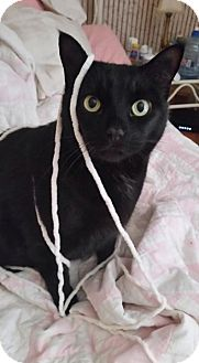 Domestic Shorthair Cat for adoption in Baltimore, Maryland - Desi - COURTESY POST