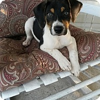 Adopt A Pet :: JACK - ROCKMART, GA