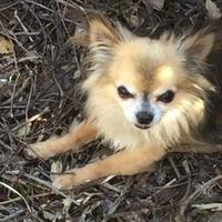 Chihuahua Mix Dog for adoption in Owatonna, Minnesota - Arthur