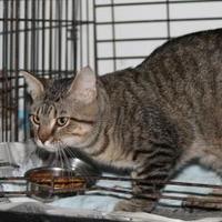 Domestic Shorthair/Domestic Shorthair Mix Cat for adoption in Robinson, Illinois - Cinna