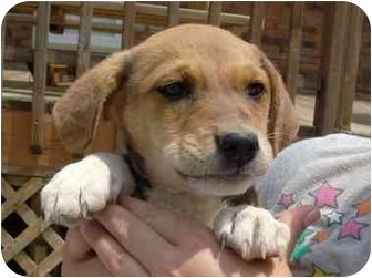Australian Cattle Dog/Jack Russell Terrier Mix Puppy for adoption in Coal City, West Virginia - Bambi