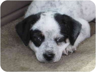 Rat Terrier Mix Puppy for adoption in Columbus, Nebraska - Captain Jack