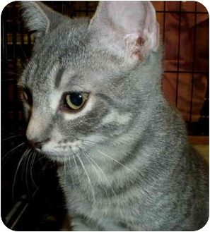 Domestic Shorthair Cat for adoption in Yorba Linda, California - Lola