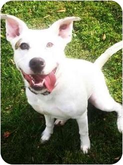 Boxer/Labrador Retriever Mix Dog for adoption in Latrobe, Pennsylvania - Felicia