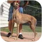 Greyhound Dog for adoption in Oak Ridge, North Carolina - Calvin