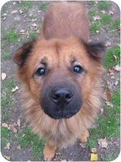 Shepherd (Unknown Type)/Chow Chow Mix Dog for adoption in Sugar Land, Texas - Emilio