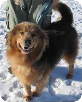 Chow Chow/Collie Mix Dog for adoption in Republic, Washington - Bodie