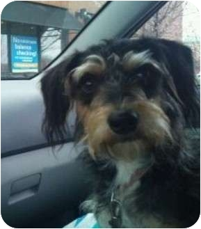 Schnauzer (Miniature)/Wirehaired Fox Terrier Mix Dog for adoption in Plainfield, Illinois - Faye