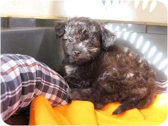 Shih Tzu/Chihuahua Mix Puppy for adoption in Salem, Oregon - Tyson
