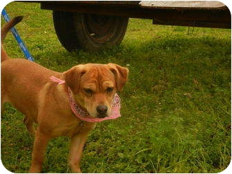 Beagle/Dachshund Mix Dog for adoption in Hartford, Connecticut - Hattie