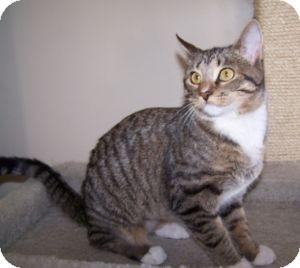 Domestic Shorthair Kitten for adoption in Colorado Springs, Colorado - Starlight