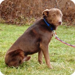 Labrador Retriever Mix Dog for adoption in Cincinnati, Ohio - Logan