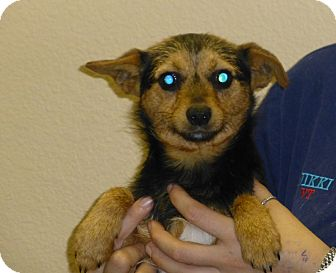Chihuahua/Terrier (Unknown Type, Small) Mix Dog for adoption in Oviedo, Florida - Taz