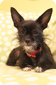 Schnauzer (Miniature)/Chihuahua Mix Dog for adoption in Hamburg, Pennsylvania - Lilly