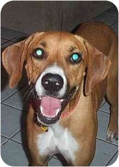Boxer/Labrador Retriever Mix Dog for adoption in Scottsdale, Arizona - Coby
