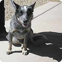 Adopt A Pet :: Bucky - Wickenburg, AZ