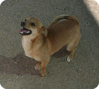 Chihuahua Mix Dog for adoption in Yucca Valley, California - Fizz Ziggy Doodlebug