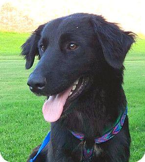Golden Retriever/Labrador Retriever Mix Dog for adoption in Westport, Connecticut - *Lexi (Black Golden) - PENDING