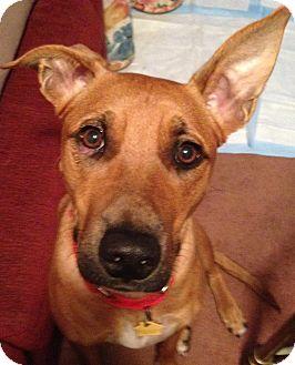 Labrador Retriever/Shepherd (Unknown Type) Mix Dog for adoption in Allendale, New Jersey - DESIREE