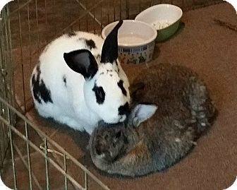 Checkered Giant Mix for adoption in Williston, Florida - Marcie and Speckles
