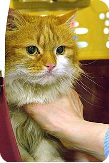 Persian Cat for adoption in Pittstown, New Jersey - Cheddar