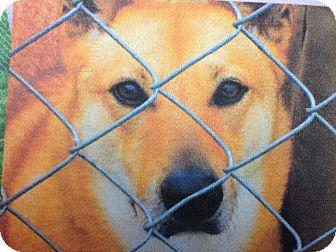 Finnish Spitz/Shepherd (Unknown Type) Mix Dog for adoption in LaGrange, Kentucky - Bree