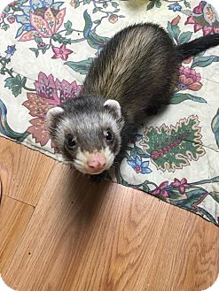 Ferret for adoption in Fawn Grove, Pennsylvania - Bear