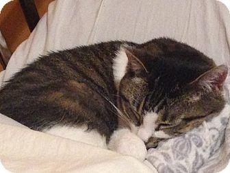 Domestic Shorthair Cat for adoption in Chicago, Illinois - Divine
