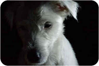 Jack Russell Terrier Dog for adoption in Santa Barbara, California - Lucky Luciano