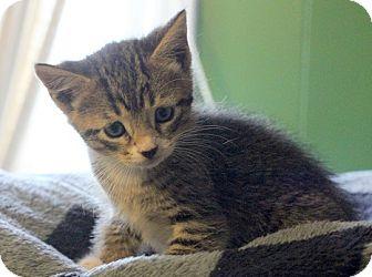 Domestic Shorthair Kitten for adoption in Concord, North Carolina - Joseph