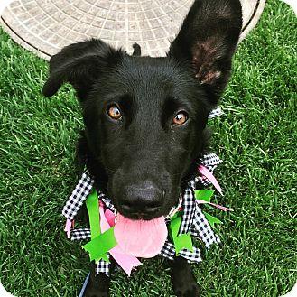 Labrador Retriever/German Shepherd Dog Mix Puppy for adoption in Redondo Beach, California - Zara