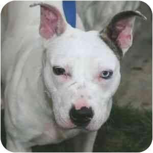 American Pit Bull Terrier Mix Dog for adoption in Berkeley, California - Jubilee