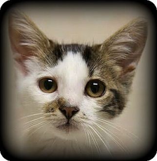 Domestic Shorthair Kitten for adoption in Montclair, New Jersey - Dave