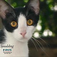 Adopt A Pet :: Spaulding - Belle Chasse, LA