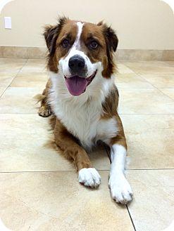 Australian Shepherd Mix Dog for adoption in Mission Viejo, California - Fluffy