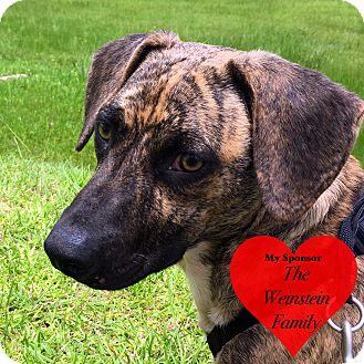 Basset Hound/Terrier (Unknown Type, Medium) Mix Dog for adoption in San Leon, Texas - Tigger