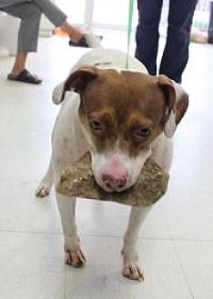 American Staffordshire Terrier Mix Dog for adoption in Yukon, Oklahoma - Maggie
