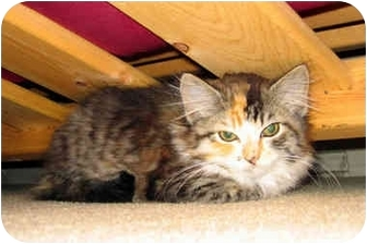 Domestic Longhair Kitten for adoption in Saanichton, British Columbia - Sierra