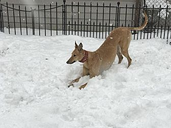Greyhound Dog for adoption in Carol Stream, Illinois - AMF Lost In Love (Halle)