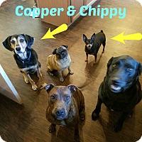 Adopt A Pet :: Copper - Sharon Center, OH